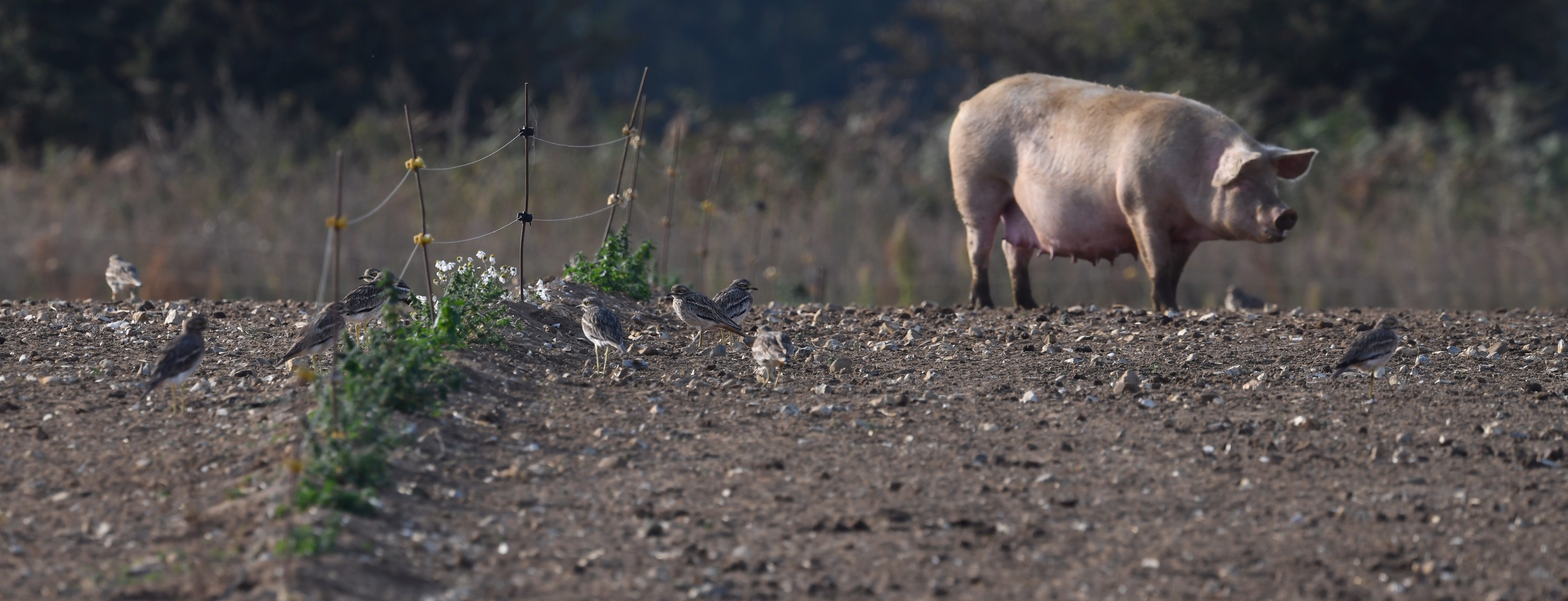 Stone Curlews and Sow at Wayland Farms